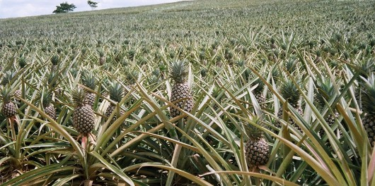 growing_pineapples